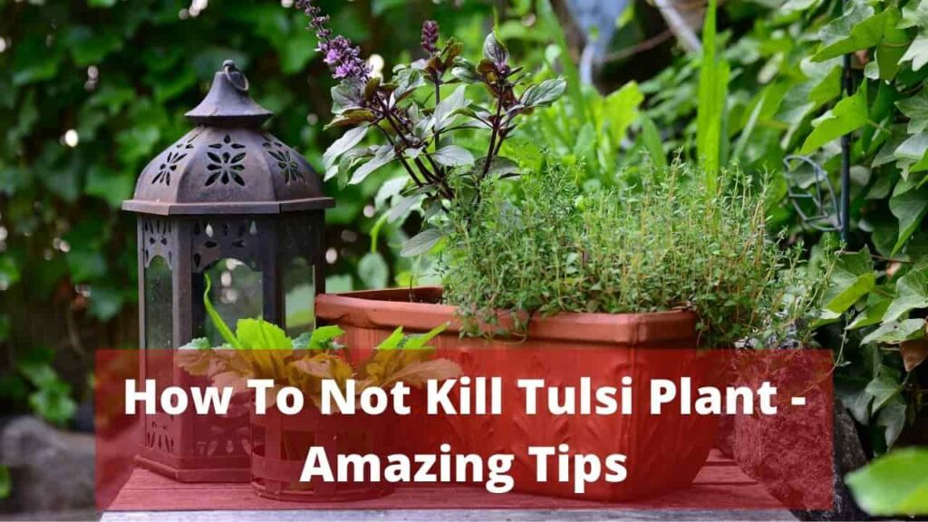 How to Take Care of Tulsi Plant