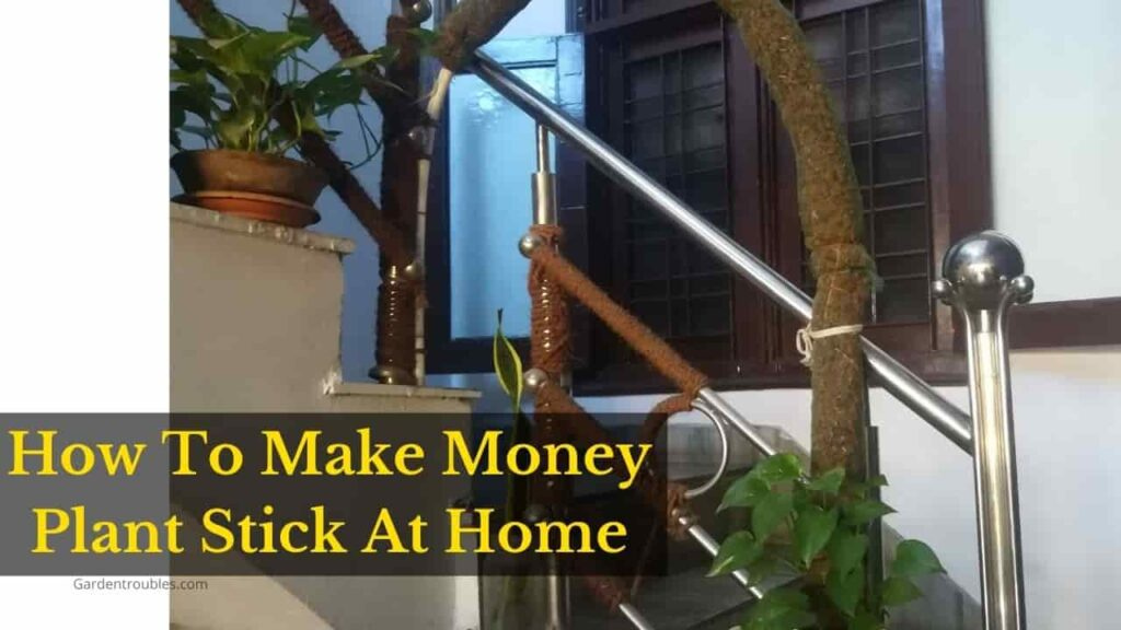 How to make money plant stick at home