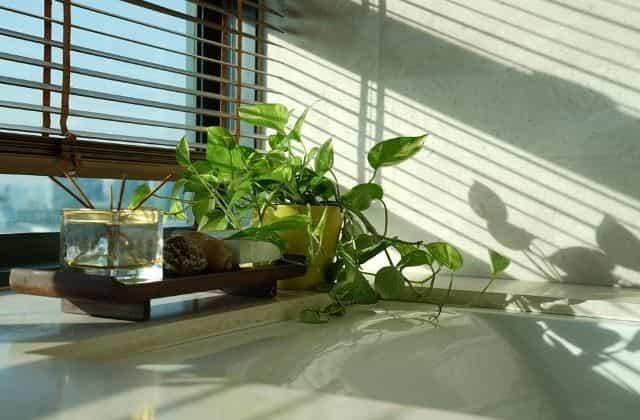 Money plant - Popular office desk plant in india