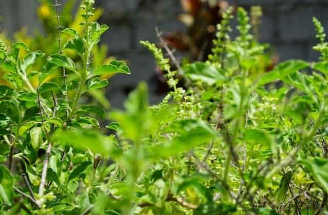How to save tulsi plant from dying