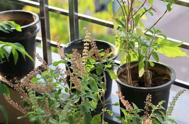 Tulsi Plant Sunlight intake