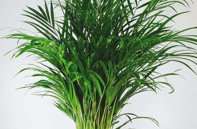Areca Palm - Easy to grow indoor plant in india