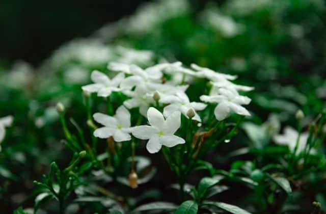 Beautiful Chandni flower