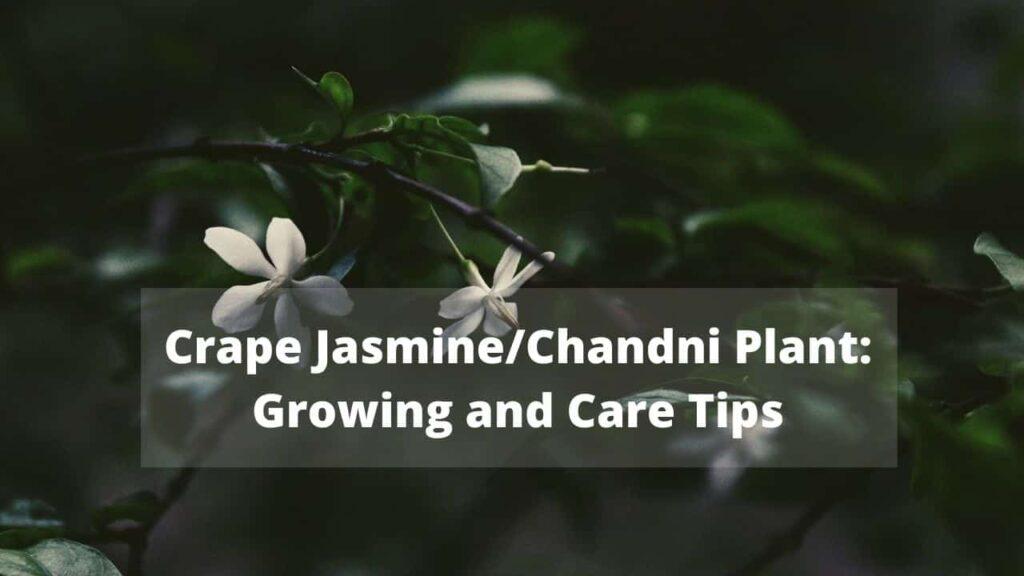 Chandni Plant /Tagar Flower