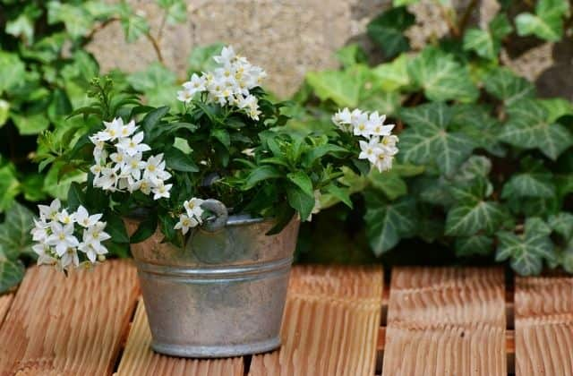 Chandni Plant growing in pot
