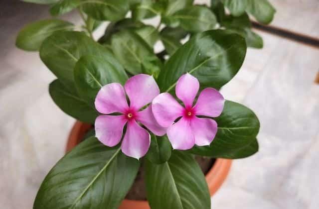 Growing sadabahar in pot