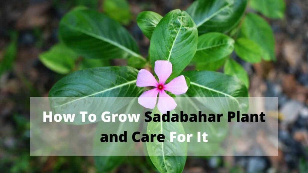 How to grow sadabahar and care for it
