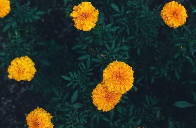 Marigold - Plant for terrace garden