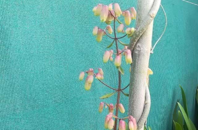 Patharchatta flower