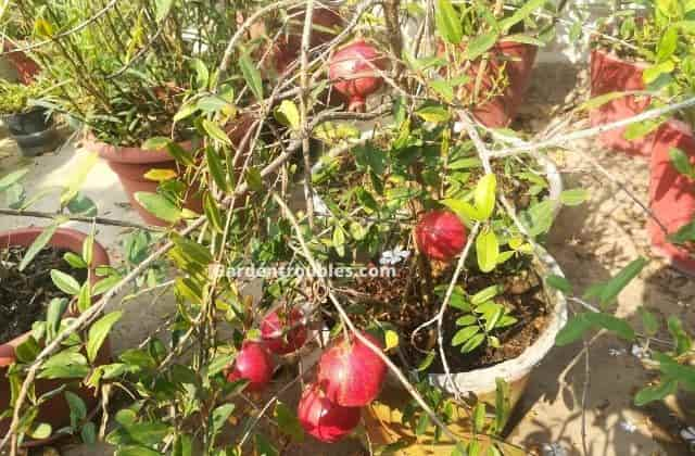 Pomegranate - fruit that can be grown in pots easily