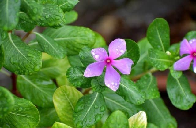 Sadabahar flower
