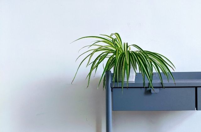 Spider Plant - best office desk plant in india