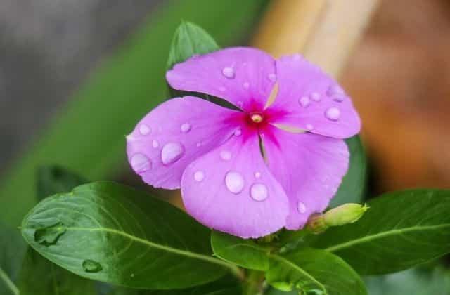 Sadabahar plant care
