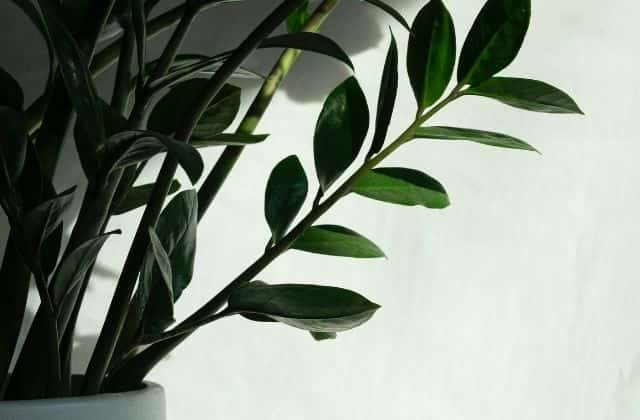 ZZ easy to grow air cleaning indoor plant