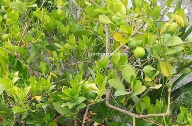 lemon fruit tree growing in pot