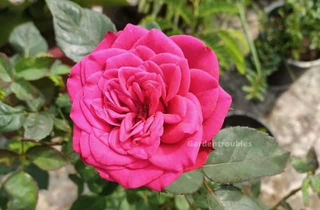 Rose - gorgeous flowering plant for terrace garden