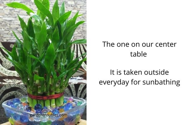 Lucky Bamboo - A cute air cleaning indoor plant