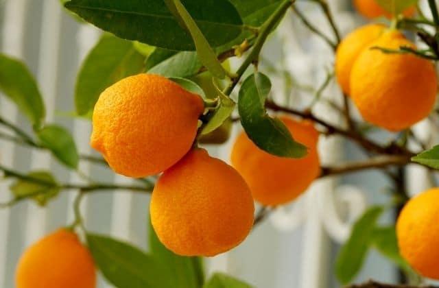 orange fruit - easy to grow in pots