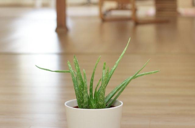 Thin plant