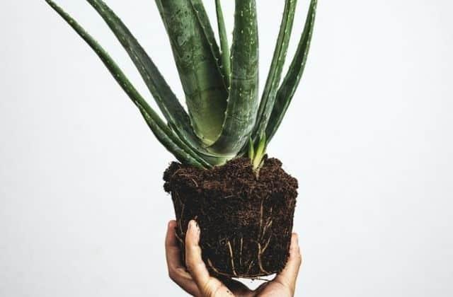 Aloe vera out of potting soil