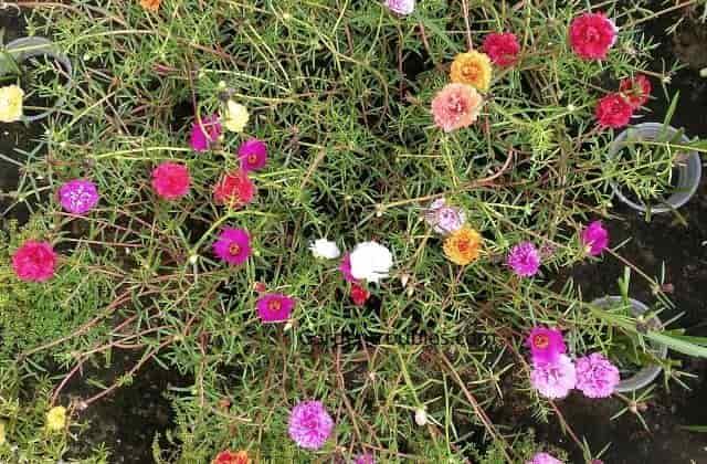 Beautiful portulaca flowers