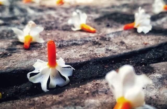 Harsringar (parijat) flower