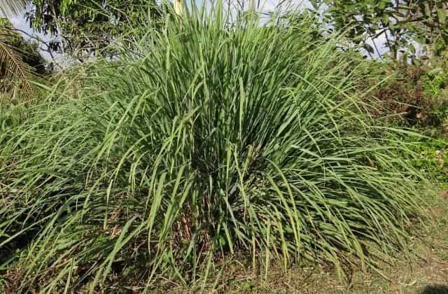 Lemongrass - Best plants that repel mosquitoes