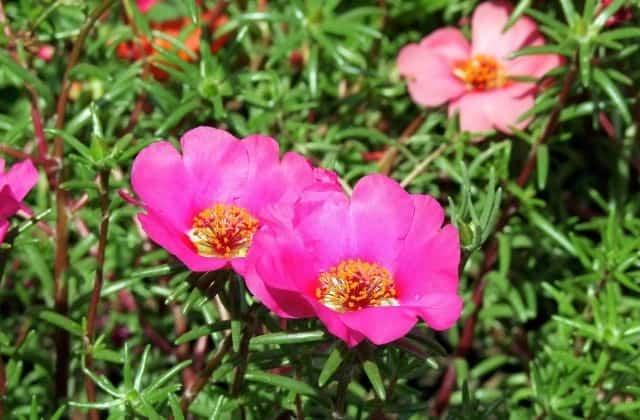 Portulaca (9 o clock flower)