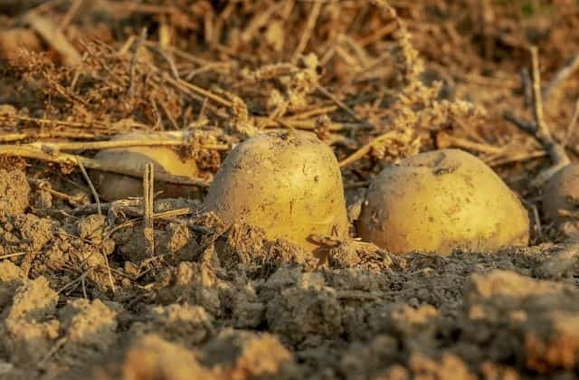 Potato summer season vegetable of india