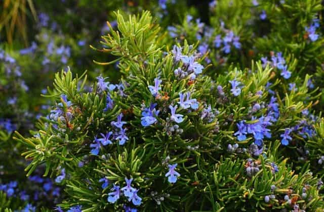 Rosemary - Plants That Repel Mosquitoes