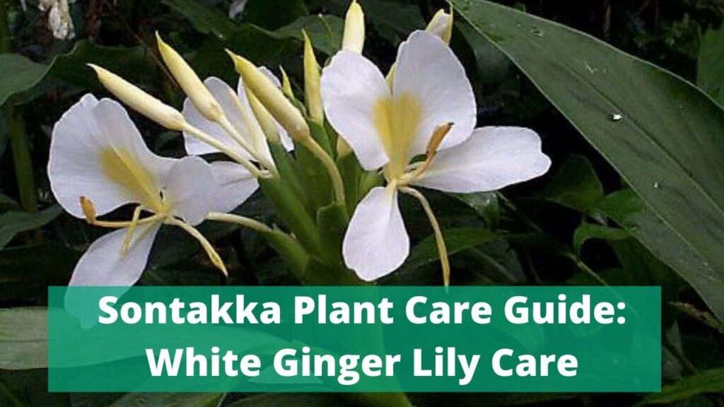 Sontakka Plant Care Guide
