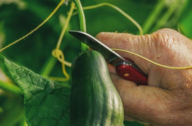 cucumber - best summer vegetable in india