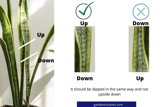 How to dip the cuttings of snake plant