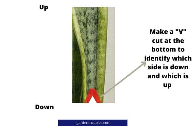 How to perfectly cut the cuttings of snake plant