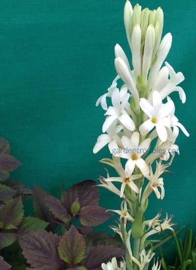 Rajnigandha flower under green net