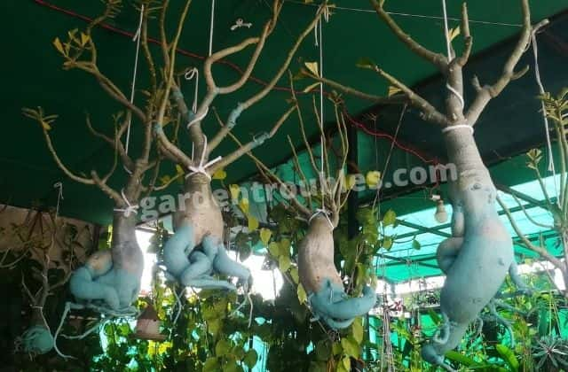 Adenium Hanged For Drying Out