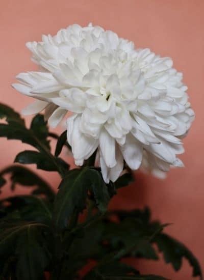 Beautiful Chrysanthemum flower - Guldavari