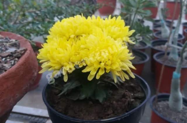 Chrysanthemum Care India - Shevanti Flower In Pot
