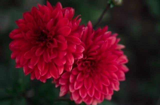 Chrysanthemum - Red Colored Shevanti flower