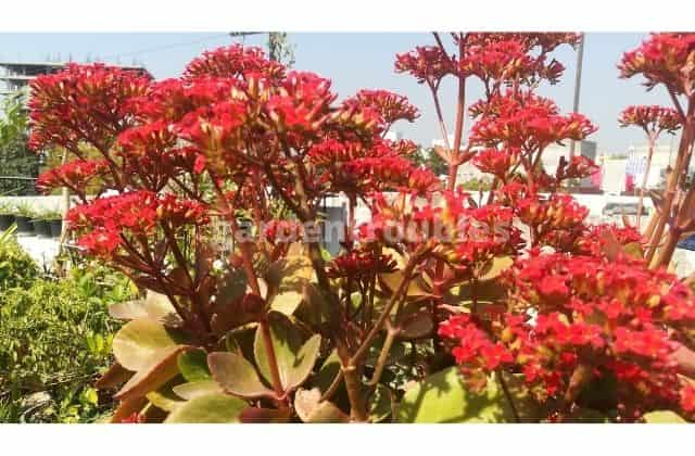 Florist kalanchoe - 12 months flowering plants in india