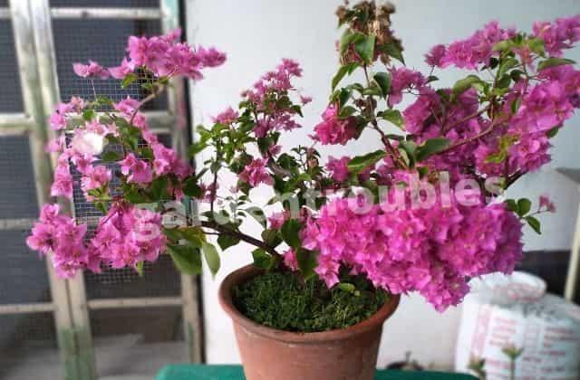 Grow bougainvillea pots india