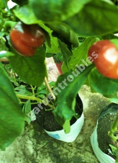 Growing capsicum in grow bags -Grow bag size chart for vegetables