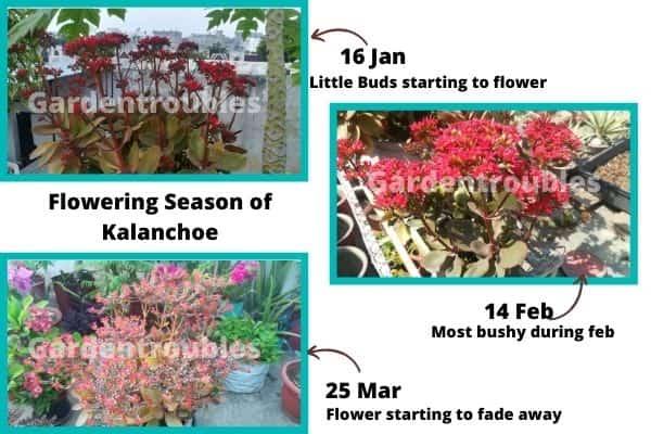 Kalanchoe Flowering Season In India
