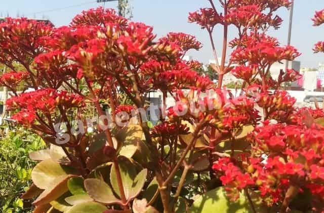 Kalanchoe Plant Care India