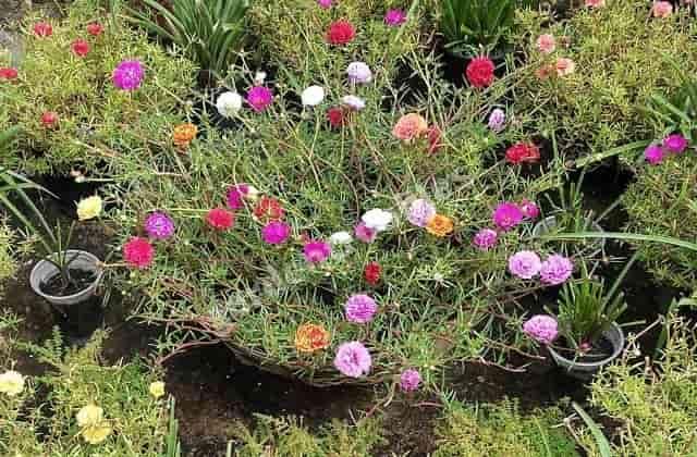 Portulaca flower plant