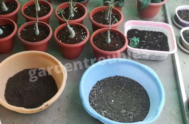 Potting mix for adenium - adenium care india