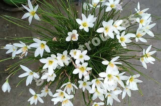 Rain lily - 365 days flowering plants in india in pots