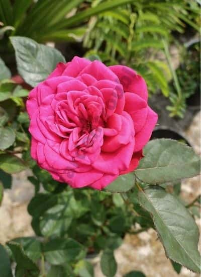 Rose - 365 days flowering plants in india