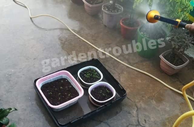 Watering Adenium