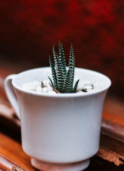 Zebra haworthia - succulent plant india